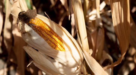 АгроПолігон LNZ-Hub: Кукурудза за крок до жнив фото 2 LNZ Group
