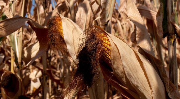 АгроПолігон LNZ-Hub: Кукурудза за крок до жнив фото 1 LNZ Group