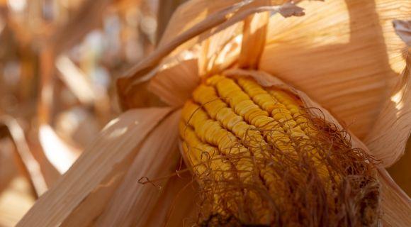 АгроПолігон LNZ-Hub: Кукурудза за крок до жнив фото 3 LNZ Group