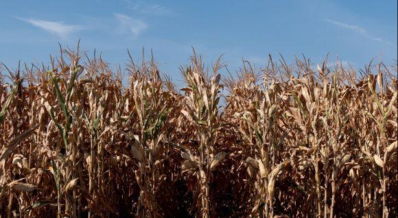 АгроПолігон LNZ-Hub: Кукурудза за крок до жнив фото 5 LNZ Group