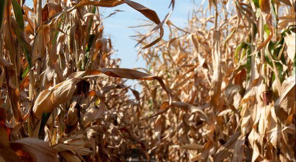 АгроПолігон LNZ-Hub: Кукурудза за крок до жнив фото 6 LNZ Group