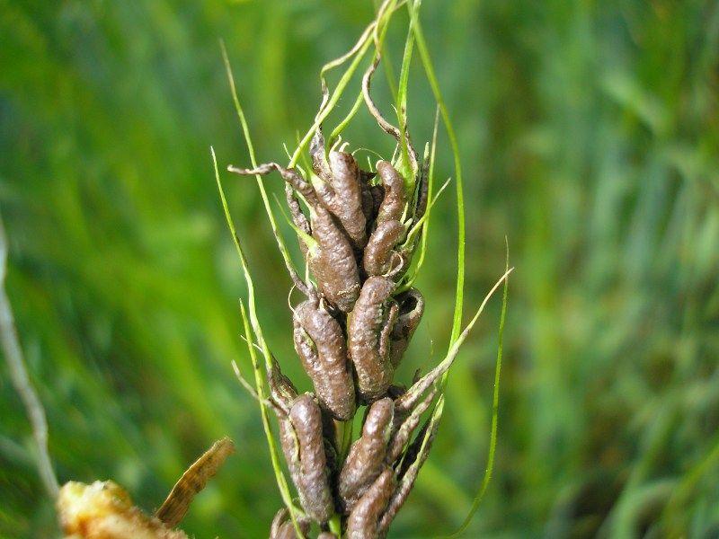 головня пшеницы фото