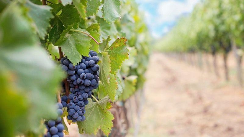 На Закарпатті розпочався сезон збирання винограду
