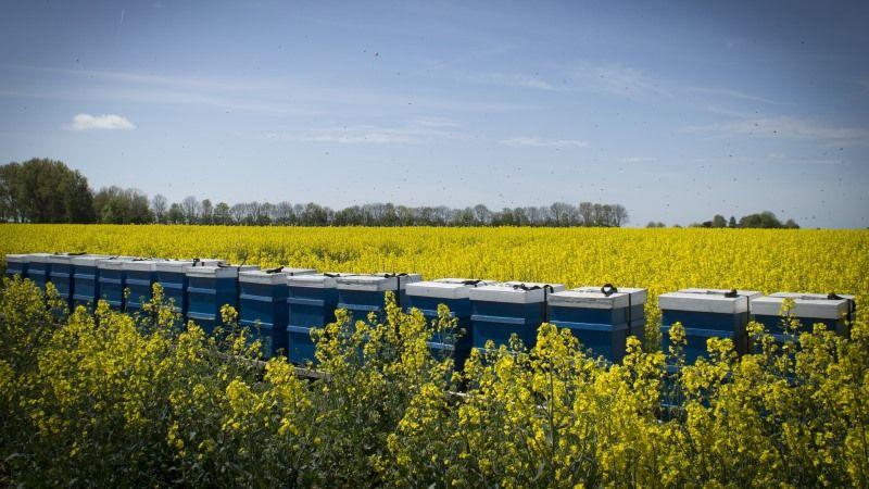 Визначено як три пестициди становлять смертельну небезпеку для бджіл