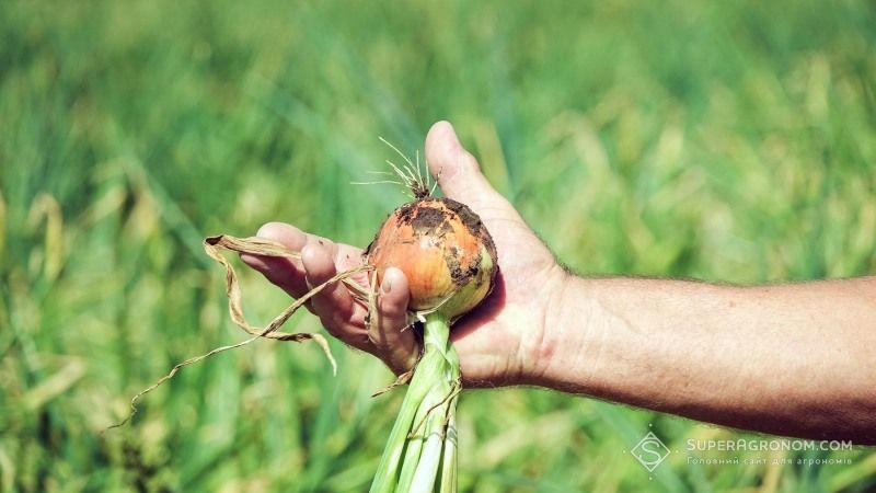З наступного року в Україні зросте попит на вирощування цибулі— прогноз