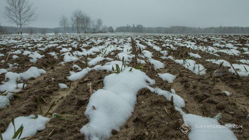 Через фузаріозну гниль господарство втратило практично половину посівів озимої пшениці