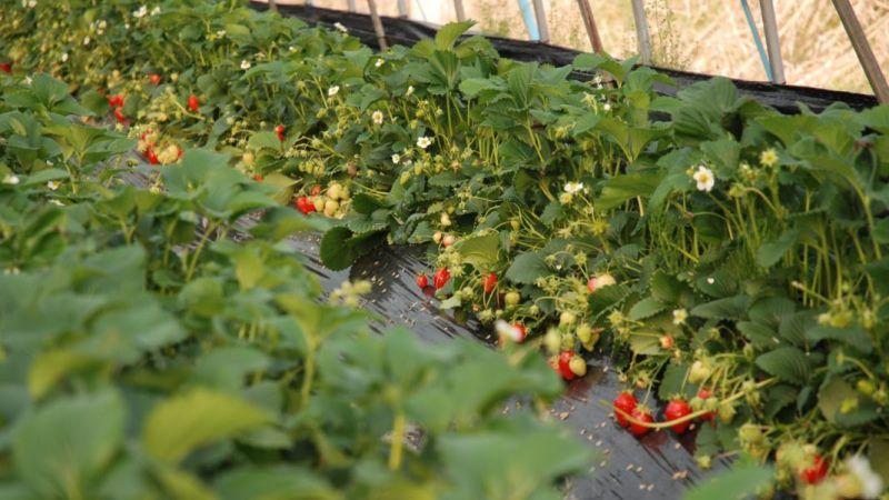 На Дніпропетровщині створили унікальні теплиці для дострокового вирощування ягід