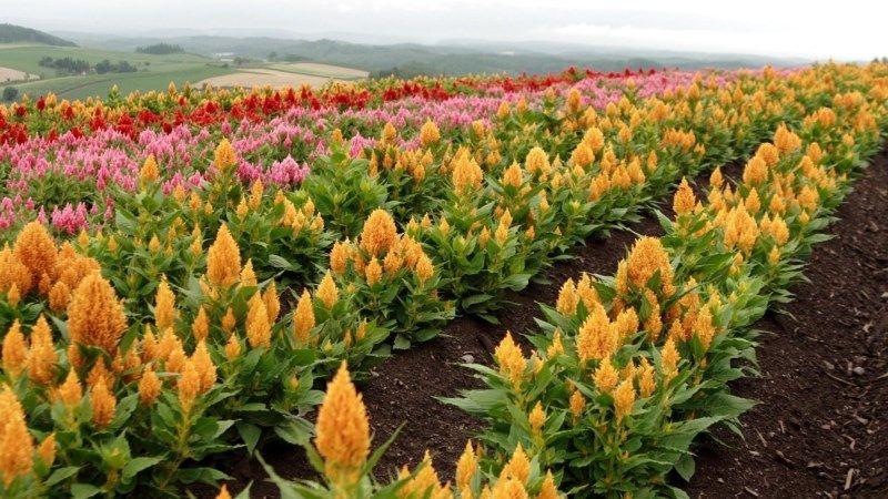 В Україні спостерігається бум на вирощування амаранту