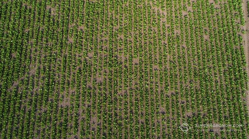 Посіви буряків
