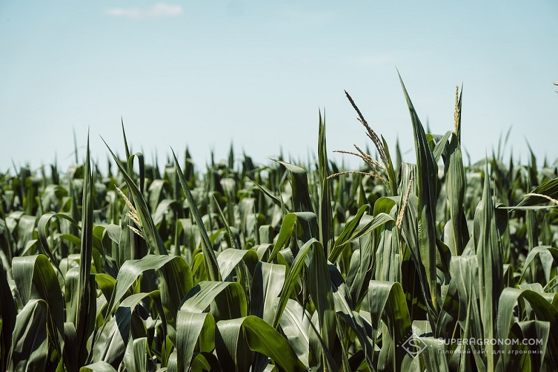 Кукурудза-2020: уроки та висновки зі складного сезону фото 2 LNZ Group