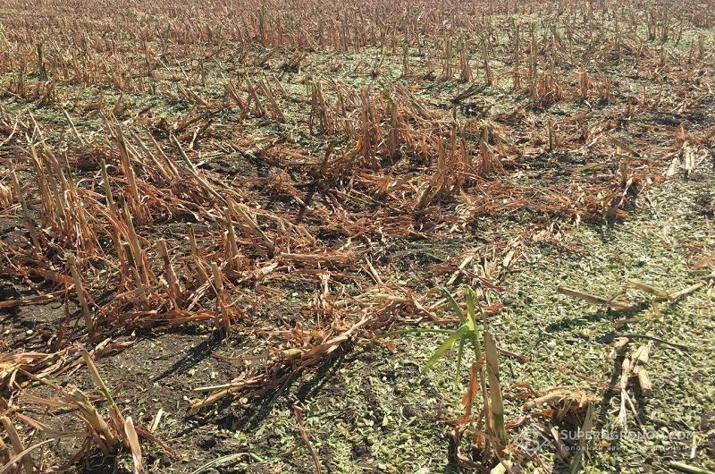 Кукурудза-2020: уроки та висновки зі складного сезону фото 4 LNZ Group