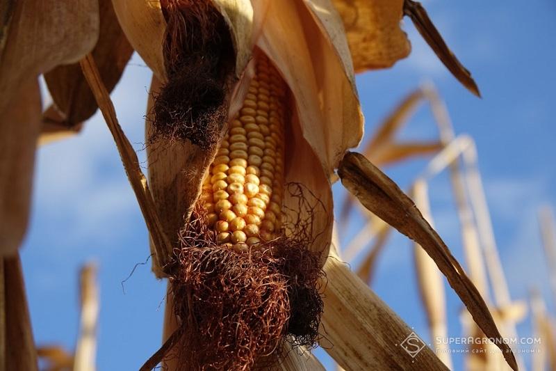 Урожай кукурудзи