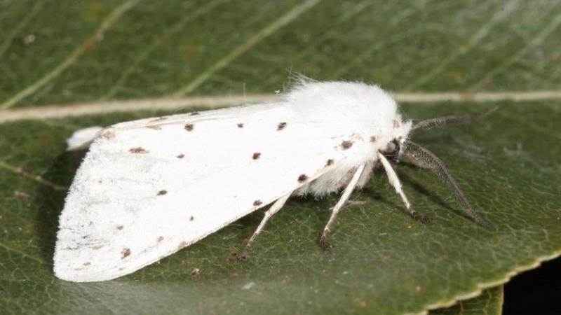 Американський білий метелик. Фото: ipmimages.org