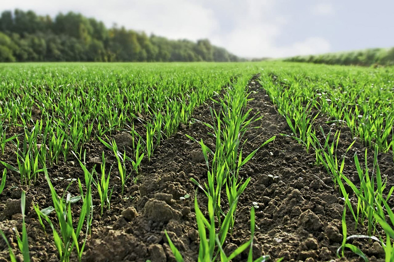 Сходи озимих зернових. Фото: UKRAVIT