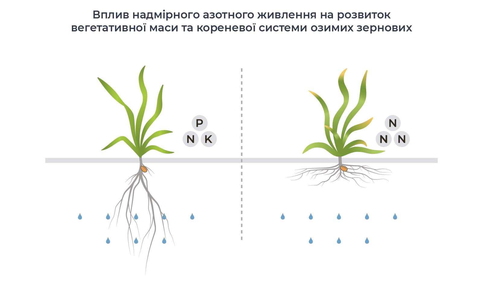 Вплив надмірного азотного живлення на розвиток вегетативної маси та кореневої системи озимих зернових