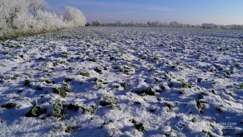 Ріпак під снігом
